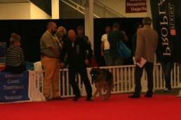 Dax de la bët des Vosges sur le Ring d'Honneur lors de l'Exposition Internationale Canine de Dijon.